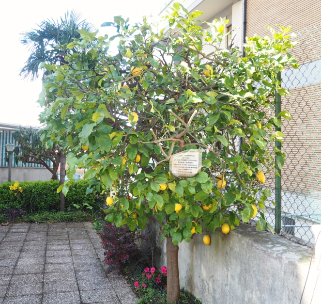 Lemon Tree in Rome Italy, Travel Blogger