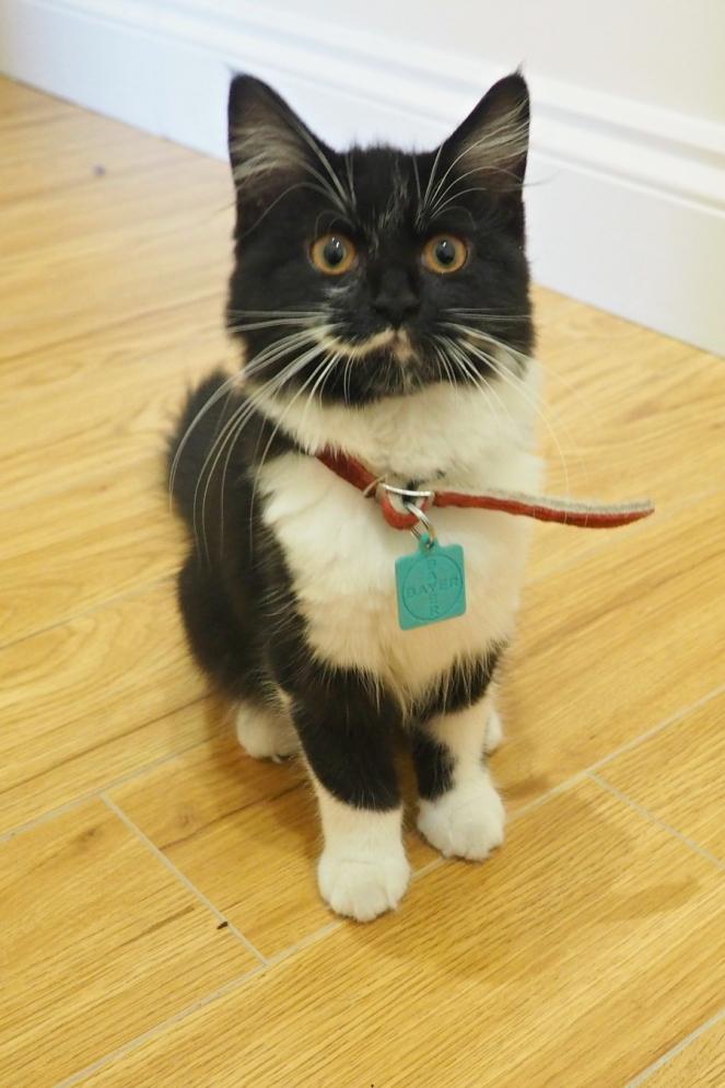 Oreo the cute Kitten cat