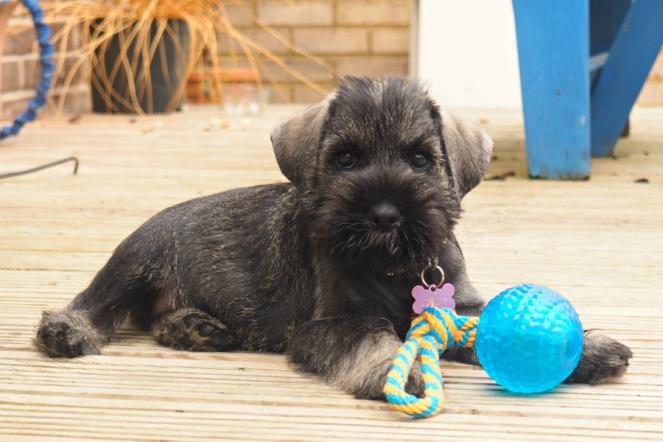 Roxy the Standard Schnauzer Puppy Dog Cute