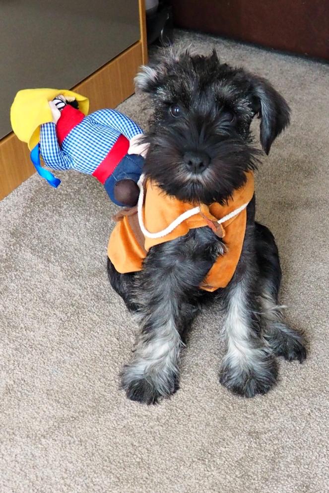 Roxy the Schnauzer Puppy